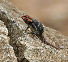 240px-Blanford's Rock Agama Psammophilus blanfordanus in Hyderabad, AP W IMG 8018