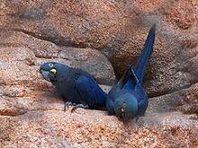 240px-Anodorhynchus leari -Rio de Janeiro Zoo, Brazil-8a