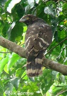 Black honey buzzard nb2