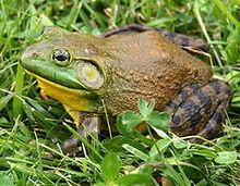 240px-North-American-bullfrog1