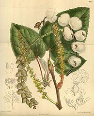 194px-Populus lasiocarpa 141-8625
