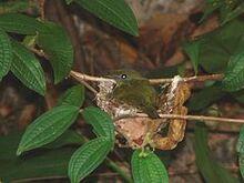 240px-Araripe Manakin (Antilophia bokermanni) on nest