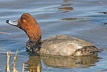 240px-Redhead duck 1
