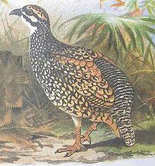 224px-Francolinus pintadeanus hm