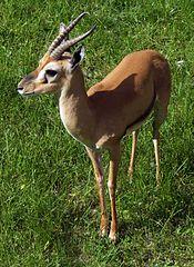 175px-Gazella rufifrons AB