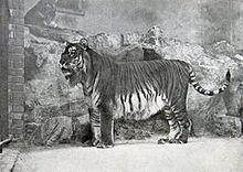 240px-Panthera tigris virgata