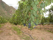290px-Malbec grapes on the vine