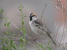 240px-Saxaul Sparrow