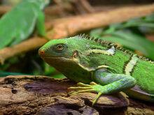 240px-Fiji Crested Iguana444