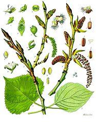 Populus nigra - Köhler–s Medizinal-Pflanzen-112
