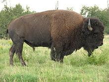 240px-Bison bison d
