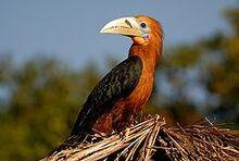 240px-Rufous-necked Hornbill