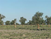 Populus diversifolia 1