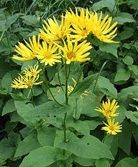 199px-Doronicum austriacum a5