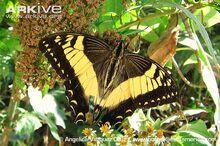 Papilio-esperanza