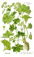143px-Illustration Alchemilla vulgaris0 clean