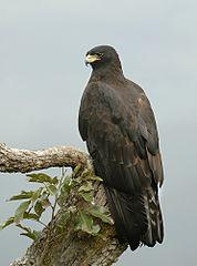 178px-Black eagle