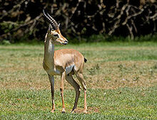 240px-Gazella gazella