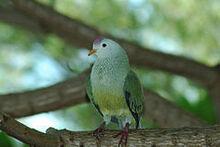 240px-Atoll Fruit-dove (Ptilinopus coralensis)