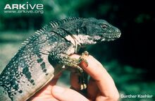 Five-keeled-spiny-tailed-iguana-held-by-biologist