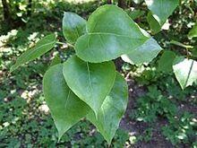 Populus wilsonii a1