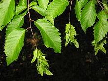 240px-Carpinus caroliniana 3