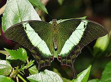 240px-Papilio palinurus (1)