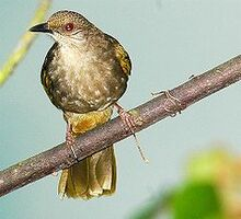 240px-Olive-winged Bulbul