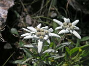 Very rare endemic mountain flower runolist (german edelweiss), photo taken on rocky slopes above lake sator (119567)