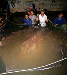 Mekong-stingray