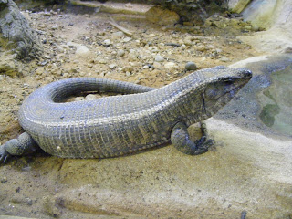 Giant plated lizard - colchester zoo