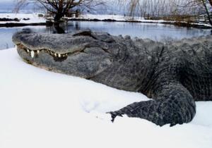 File:300px-Snow gator.jpg