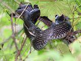 Giant Pennsylvania Snake