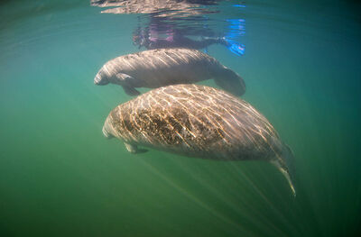 Florida-tampa-electric-manatee-viewing-center