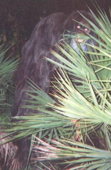 Image result for skunk ape