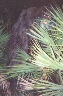 Image result for skunk ape