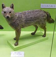 220px-Canisaureusmoreoticus
