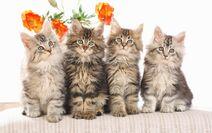 Gatos-de-raza-hermosa-9989
