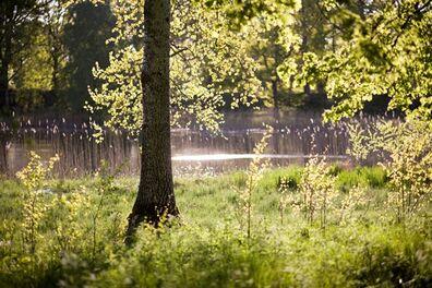 Th -skogsdunge-o-vatten
