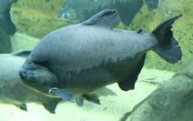 Lucy's pacu fish