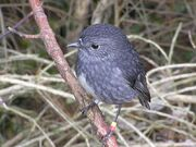 799px-NZ North Island Robin-3
