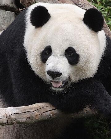 Giant Panda Nickelodeon Animals Wiki Fandom