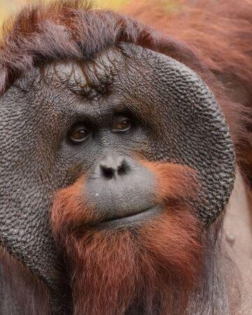 Bornean Orangutan Nickelodeon Animals Wiki Fandom