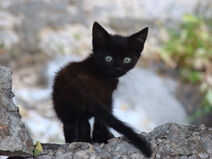Cute-black-kittens-wallpaperblack-and-white-cats-with-blue-eyesblack-white-cat-breeds-with-kadspofm