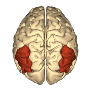 Angular gyri, larger in the brains of Night Speakers, positioned on a brain map
