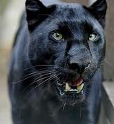 Shapeshifter-Leopard