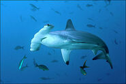 Original Hammerhead Shark