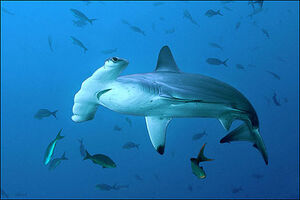 Original Hammerhead Shark