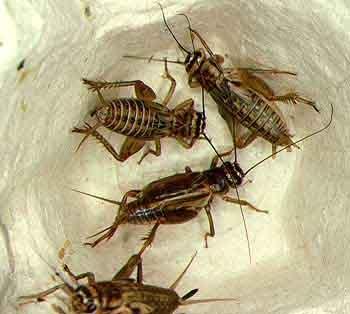 File:Groupcrickets.jpg