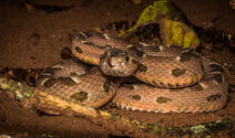 Marbled Lancehead viper
